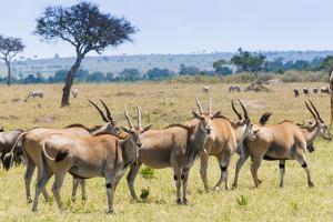 Common eland, Maasai Mara National Reserve, Kenya by Nico Tondini