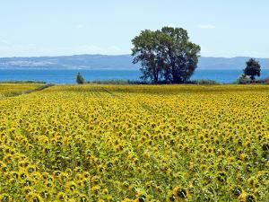 Field of Sunflowers, Lake of Bolsena, Bolsena, Viterbo Province, Latium, Italy by Nico Tondini
