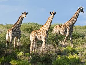 Giraffe (Giraffa Camelopardalis), Namibia, Africa by Nico Tondini