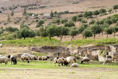 Sheep in front of Temple of Apollo, Roman ruins of Bulla Regia, Tunisia by Nico Tondini