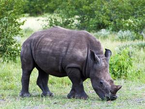 White Rhinoceros (Ceratotherium Simum), Namibia, Africa by Nico Tondini