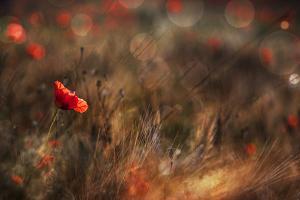 Poppy by Nicodemo Quaglia