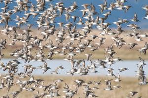 A Large Flock of Dunlin Birds, Calidris Alpina, in Flight by Nicole Duplaix