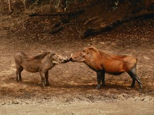 A Male and Female Warthog Rub Noses by Nicole Duplaix