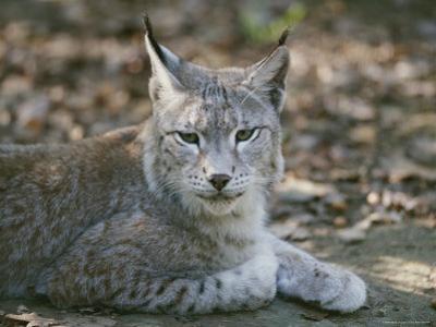 A Portrait of a Captive European Lynx by Nicole Duplaix