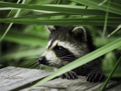 A Raccoon Peers over the Side of a Wooden Dock by Nicole Duplaix