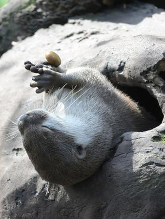 A Small-Clawed Otter, Amblonyx Cinereus, Playing with a Nut by Nicole Duplaix