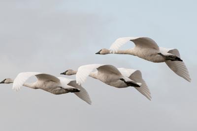 A Trio of Trumpeter Swans, Cygnus Buccinator, in Flight by Nicole Duplaix