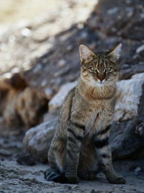 African Wildcat by Nicole Duplaix