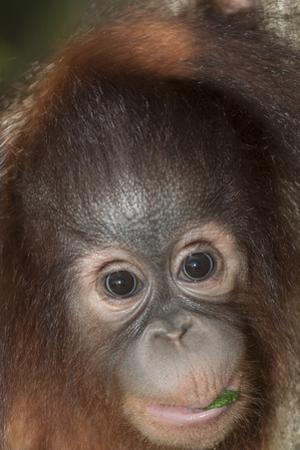 An Infant Bornean Orangutan, Pongo Pygmaeus, in Sabah by Nicole Duplaix