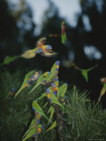 Colorful Rainbow Lorikeets Vie for a Spot on a Perch by Nicole Duplaix