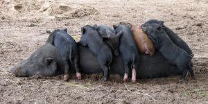 Piglets Sleep on Top of an Adult Pig by Nicole Duplaix