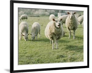 Sheep in a field in Brittany by Nicole Duplaix