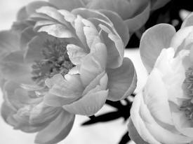 Affordable flowers photography posters for sale at allposters delicate blossom by nicole katano mightylinksfo