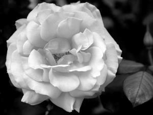 Delicate Petals I by Nicole Katano