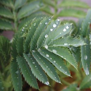 Dew Drops I by Nicole Katano