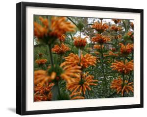 Orange Blooms by Nicole Katano
