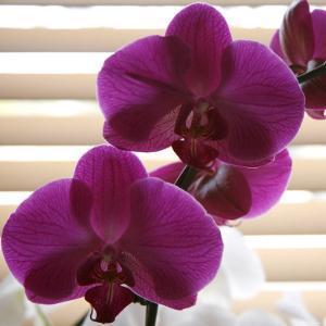 Purple Orchids III by Nicole Katano