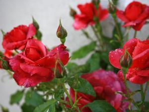 Rose Garden by Nicole Katano