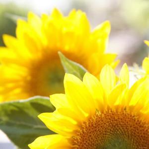 Sunflower by Nicole Katano