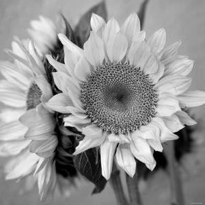Sunny Sunflower I by Nicole Katano