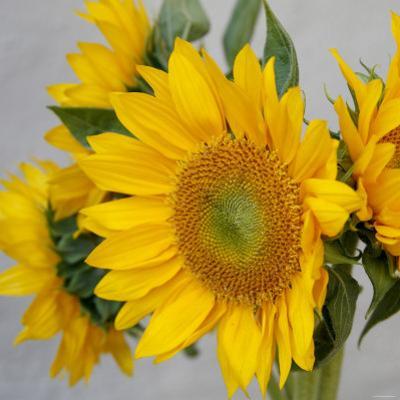 Sunny Sunflower IV by Nicole Katano