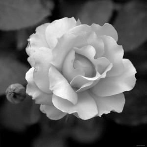 Sweet Rose II by Nicole Katano