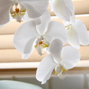 White Orchids II by Nicole Katano