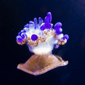 Jellyfish by Nicousnake