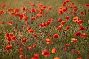 Uk. Wiltshire. Marlborough Downs. Poppies in the Evening Sun. by Niels Van Gijn