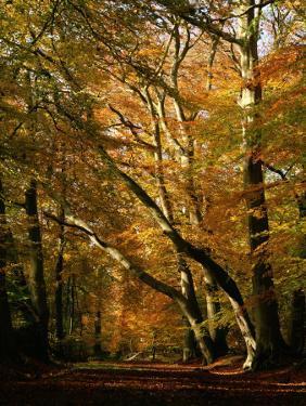 Beech Trees in Autumn Foliage in a National Trust Wood at Ashridge, Buckinghamshire, England, UK by Nigel Francis