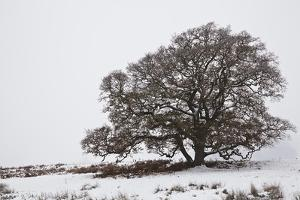 An Oak Tree in Snow and Fog in Devon, England by Nigel Hicks