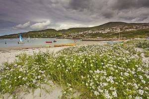 Sea rocket growing on the Strand at Derrynane House, Ring of Kerry, County Kerry, Munster, Republic by Nigel Hicks