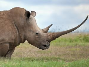 A White Rhino with a Very Long Horn; Mweiga, Solio, Kenya by Nigel Pavitt