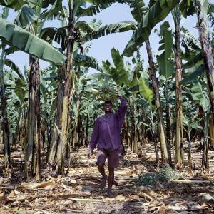 Bananas are Grown Everywhere in Uganda by Nigel Pavitt