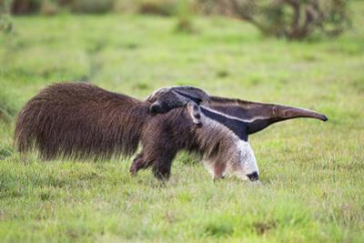 Brazil, Pantanal, Mato Grosso Do Sul. a Female Giant Anteater or Ant Bear with a Baby on its Back.