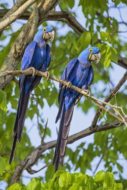 Brazil, Pantanal, Mato Grosso Do Sul. a Pair of Hyacinth Macaws. by Nigel Pavitt