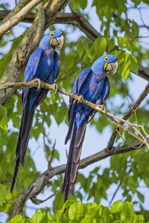 Brazil, Pantanal, Mato Grosso Do Sul. a Pair of Hyacinth Macaws.