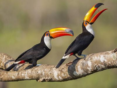 Brazil, Pantanal, Mato Grosso Do Sul. a Pair of Spectacular Toco Toucans Feeding.