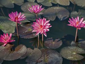 Burma, Sittwe, Beautiful Lotus Flowers Bloom in Rainwater Pond on Outskirts of Sittwe, Myanmar by Nigel Pavitt