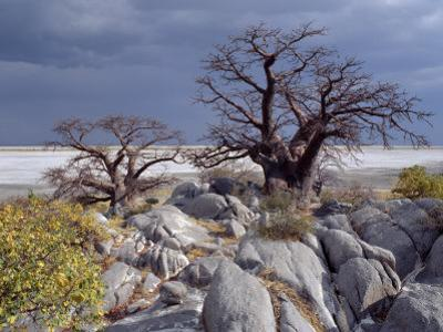 Gnarled Baobab Tree Grows Among Rocks at Kubu Island on Edge of Sowa Pan, Makgadikgadi, Kalahari