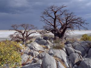 Gnarled Baobab Tree Grows Among Rocks at Kubu Island on Edge of Sowa Pan, Makgadikgadi, Kalahari by Nigel Pavitt