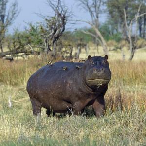 Hippo, with Red-Billed Oxpeckers (Tick Birds), Grazes, Okavango Swamp Edge, Moremi Wildlife Reserve by Nigel Pavitt