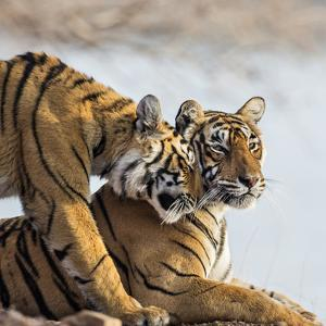 India, Rajasthan, Ranthambhore. a Female Bengal Tiger Is Greeted by One of Her One-Year-Old Cubs. by Nigel Pavitt