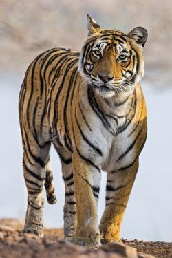 India, Rajasthan, Ranthambhore. a Female Bengal Tiger. by Nigel Pavitt