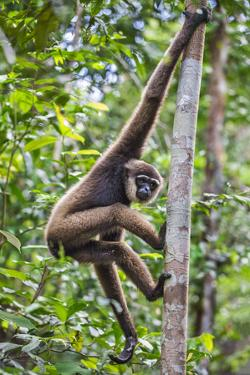 Indonesia, Central Kalimatan, Tanjung Puting National Park. a Bornean White-Bearded Gibbon. by Nigel Pavitt
