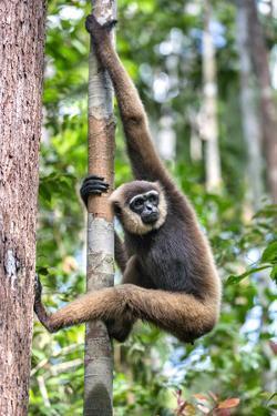 Indonesia, Central Kalimatan, Tanjung Puting National Park. a Bornean White-Bearded Gibbon. by Nigel Pavitt
