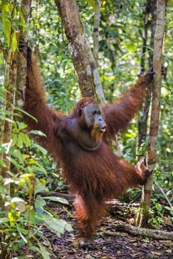 Indonesia, Central Kalimatan, Tanjung Puting National Park. a Male Orangutan Calling. by Nigel Pavitt