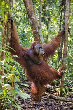 Indonesia, Central Kalimatan, Tanjung Puting National Park. a Male Orangutan Calling. by Nigel Pavitt