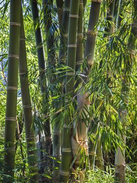 Indonesia, Flores Island, Ruteng a Clump of Stout Bamboo Growing Near Ruteng. by Nigel Pavitt